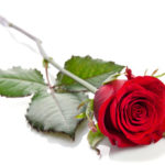 45304378-beautiful-single-red-rose-lying-down-on-a-white-background